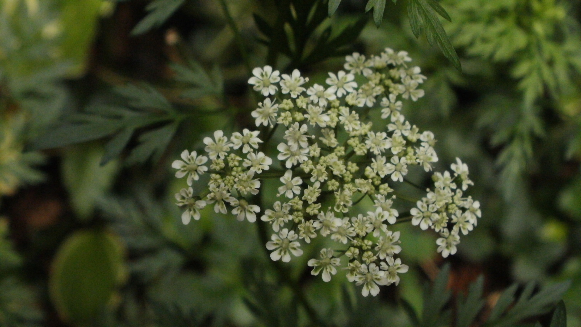 Poison hemlock wildflowers of the west village the umbels of poison mightylinksfo
