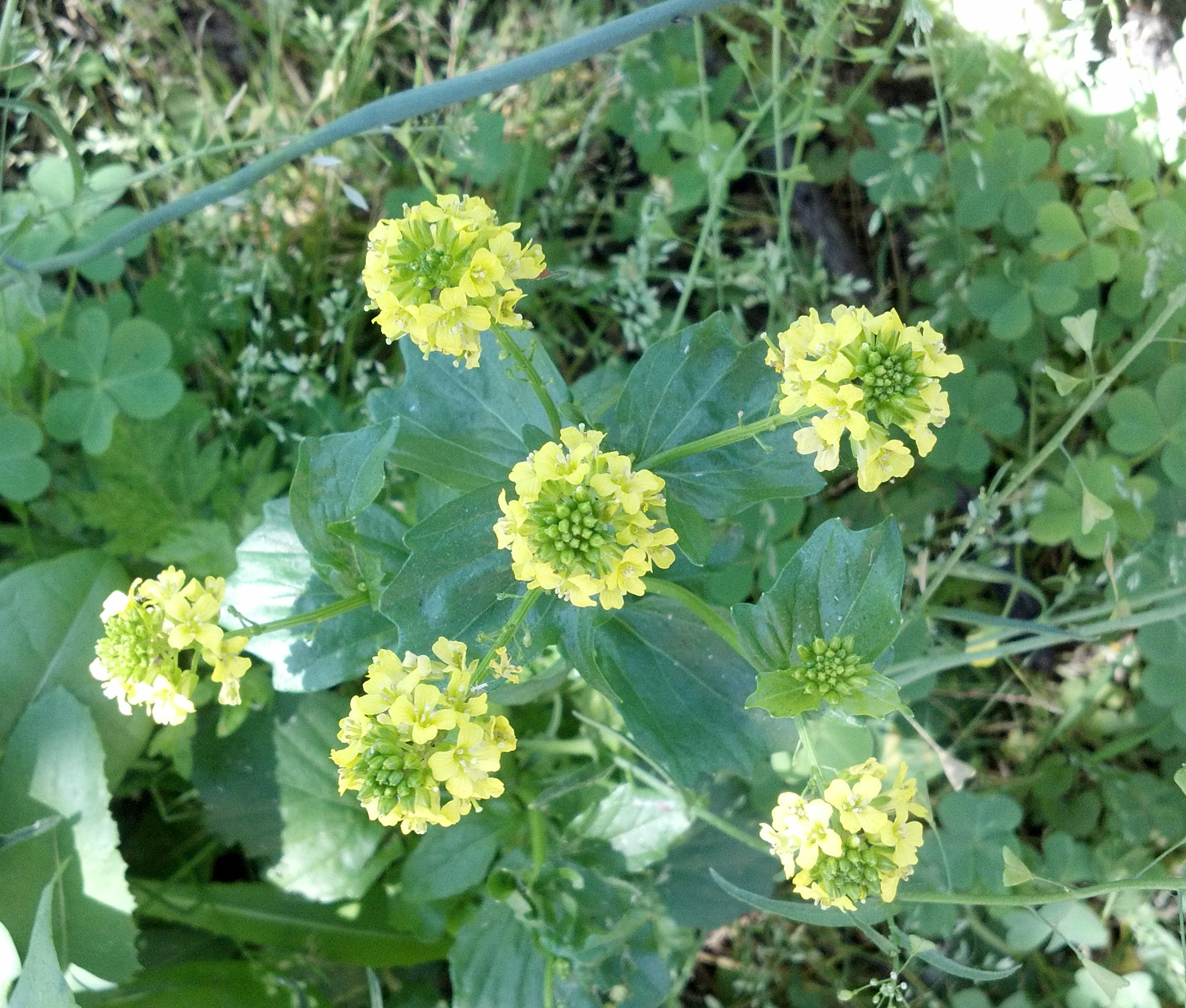 Winter Cress Wildflowers Of The West Village