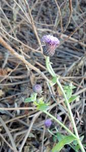 Canada Thistle,Cirsium arvense. (photo taken 12 11 2012) (
