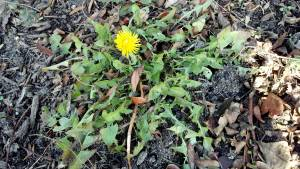 December Dandelion: a single Taraxacum officinale blooms in Hudson River Park. (photo taken 12 11 2012)