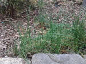 Onion Grass (genus Allium) provides a small splash of color near Eighth Avenue. (photo taken 02 26 2013)