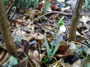Common Snowdrop in the bush. (photo taken 03 07 2013)