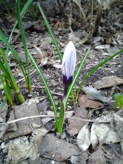 The first courtyard flower of the year beat the first day of spring by a few days. (photo taken 03 17 2013)