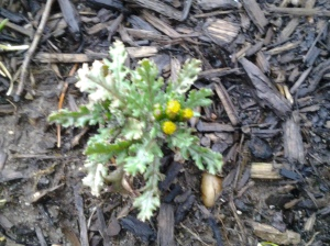 Common Groundsel at the base of a tree. (photo taken 03 07 2013)