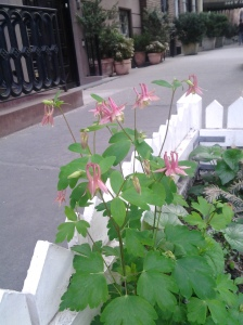 Eastern Red Columbine (Aquilegia canadensis) blooms in a tree pit near Greenwich Street. (photo taken 05 2013)