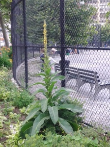 Common Mullein begins to show beside the Corporal John A. Seravalli playground on Horatio Street. (photo taken 06 16 2013)