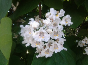 Close up view of a Catalpa Tree in full bloom (photo taken 10 19 2013)