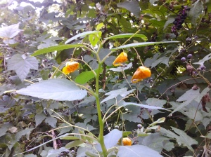 Jewelweed in bloom in Fort Tryon Park. (photo taken 09 29 2013)