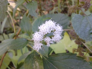 White Snakeroot up close. (photo taken 10 20 2013)