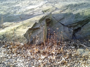 The fruiting heads of asters and white snakeroot edge outcrops of Manhattan schist in Central Park. (photo taken 01 09 2014)
