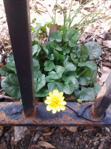 Marsh Marigold April 2014.