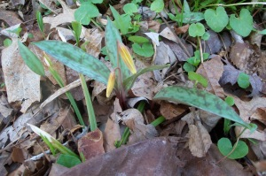 Yellow Trout Lily In Bud. (photo taken 04 2014)