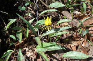 Yellow Trout Lily In Bloom. (photo taken 04 2014)