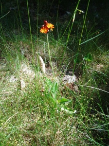 Orange Hawkweed in Dappled Shade.