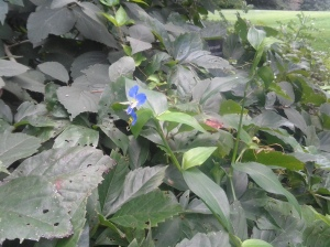 Asiatic Dayflower 08 2014