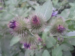 Blooming Burdock in a Breeze (photo taken 08 12 2014)