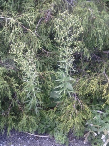Marestail 08 2014