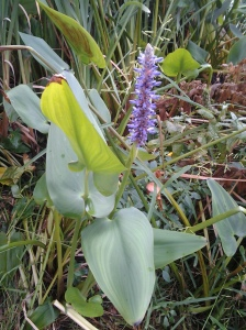Pickerelweed 09 2014