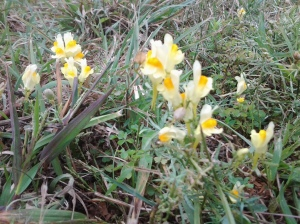 Yellow Toadflax in October