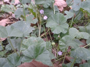 Mallow in October