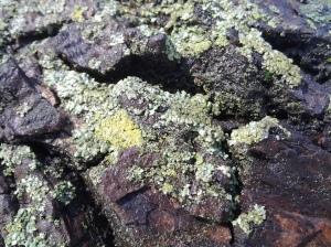 Foliose Lichen in Bloom Manhattan, NYC. (photo taken 02 22 2015)