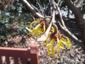 First Tree Blossoms: West Village (photo taken 03 19 2015)