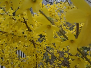 Forsythia Wall, West Village. (photo taken 04 2015)