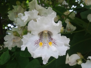 Catalpa speciosa (Bloomsday 2015)