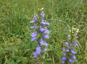 Violet and Vermillion: Great Lobelia and Jewelweed (09 2015)