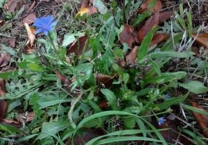 Chicory 11 11 2015