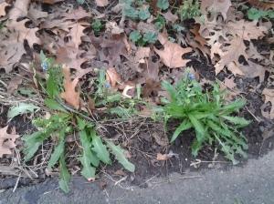 Chicory (Chicorium intybus)