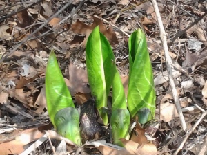 Trio of Leaves: Symplocarpus (NYC 03 2016)