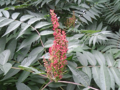 Sumac Candle Panicle NYC 07 2016