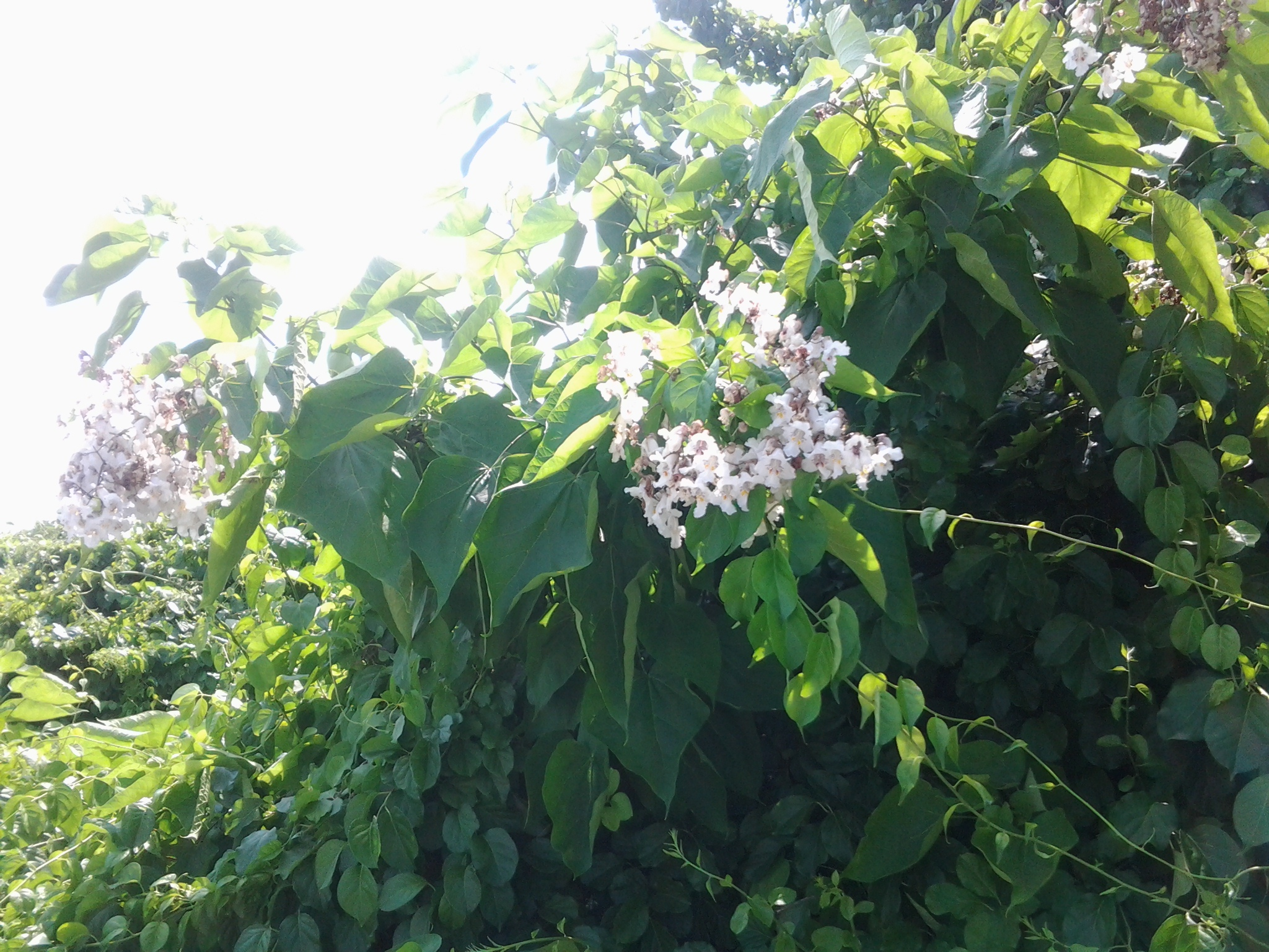 WHITE Catalpa 06 2016