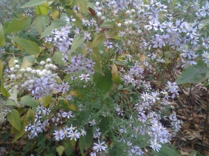White Aster & Snakeroot (Manhattan, NYC, 11 2016)